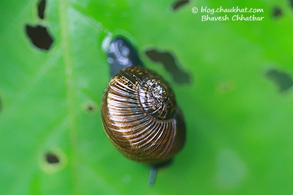 Shining bronze colored snail, also known as garden snail and Helix aspersa, eating leaves