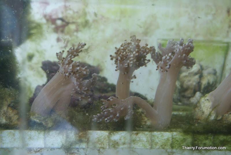 Capnella imbricata (Kenya Tree Coral) DSC04882