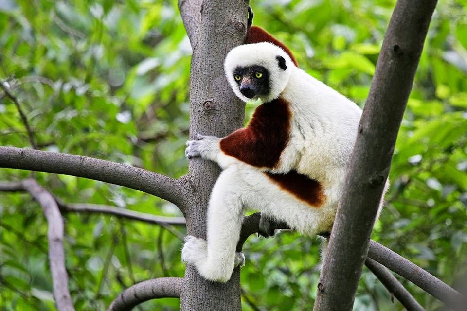 Sifaka Lemur in Madagascar
