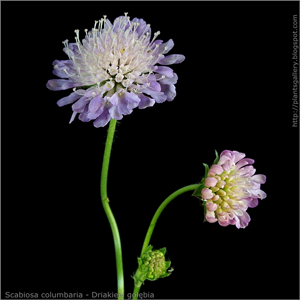 Scabiosa columbaria flower and bud flower - driakiew gołębia kwiat i pąk kwiatowy