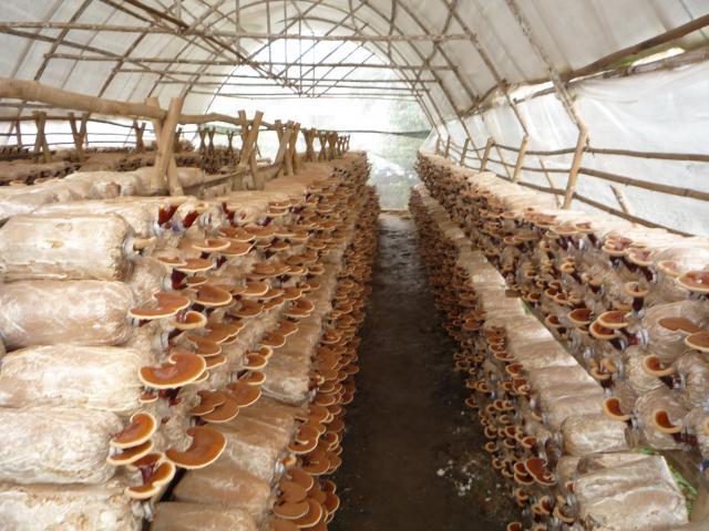 Đơn hàng thu hoạch đóng gói nấm cần 3 nam thực tập sinh làm việc tại Ibaraki Nhật Bản tháng 03/2017