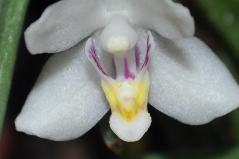 Ptecoceras semiteretifolia CSC_0006
