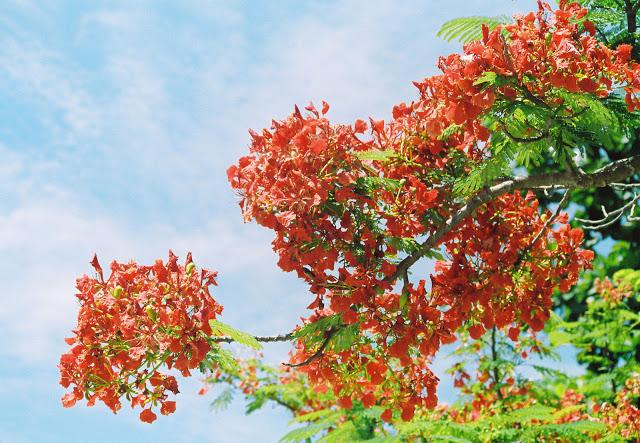 hoa phượng ngày hè