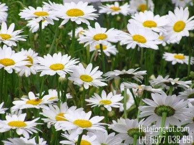 Hoa cúc màu trắng