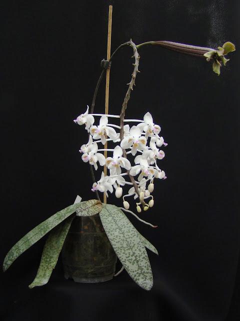 Phalaenopsis celebensis DSC03390
