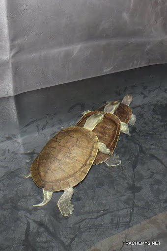 mes tortues (BK) - Page 6 IMG_0259