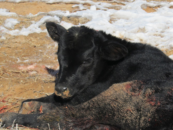 Poor calf that had apparently been attacked by coyotes. It had to be put out of its misery.