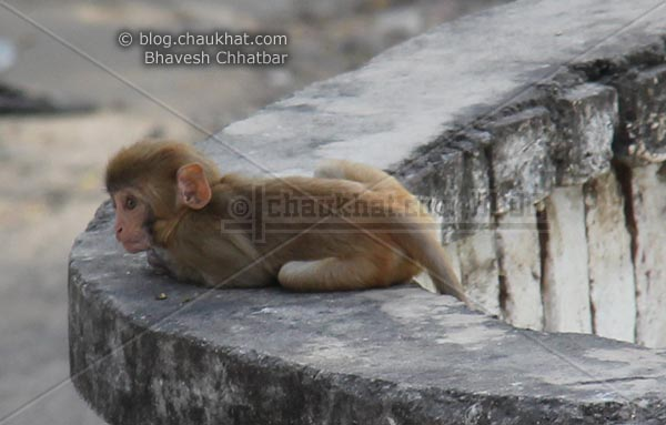 Monkeys of Jaipur - Baby monkey is sitting like a cat
