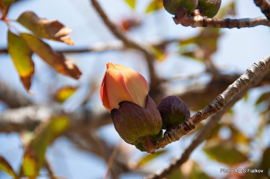 Бутон - Бомбакс индийский. Цветы и деревья Израиля.