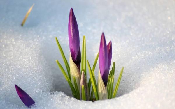 hoa xuyên tuyết