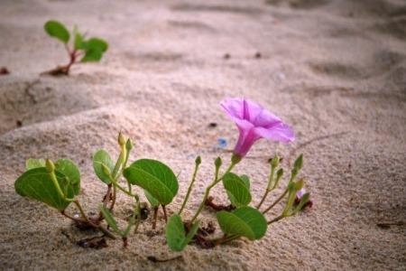 Bộ ảnh hoa muống biển màu tím thật đẹp