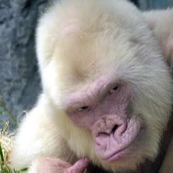 Albino Gorilla review