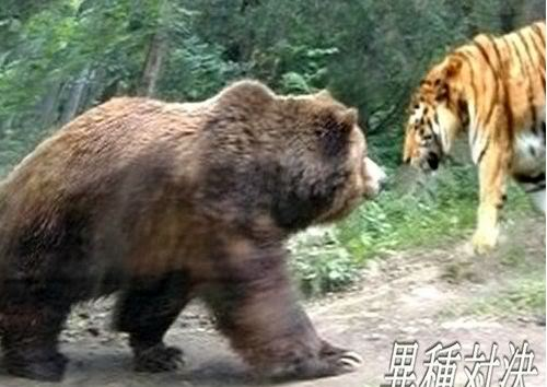 Urso pardo vs Urso polar - Página 2 Kin