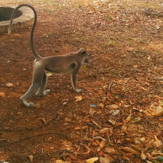 Grey Langur - its tail is longer then its body