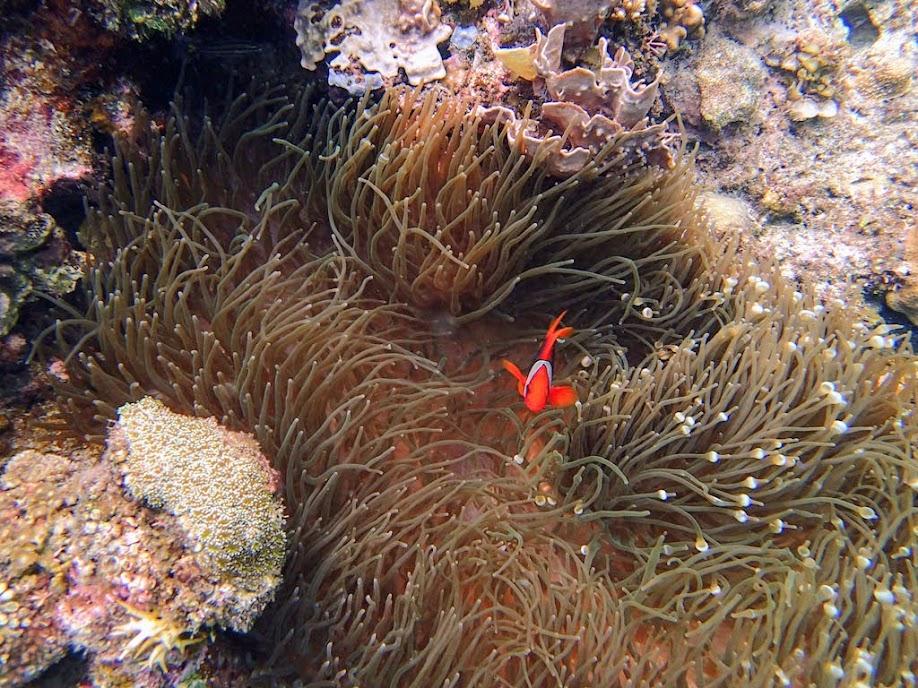 Amphiprion frenatus (Tomato Clownfish) with Entacmaea quadricolor (Bubble Anemone), Small Lagoon, Miniloc Island, Palawan, Philippines.
