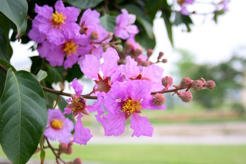 thơ hoa bằng lăng tím