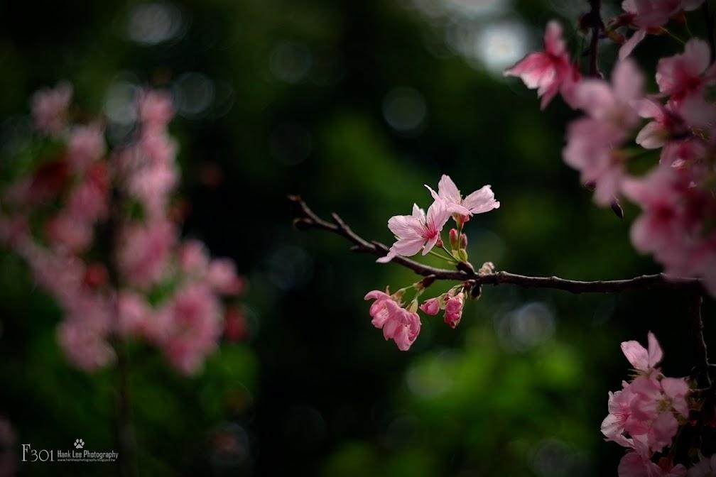 三月裡盛開的吉野櫻