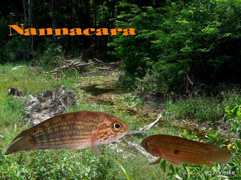 Gestreifte Nannacara aus einem Bach im Nordwesten von Französisch Guayana