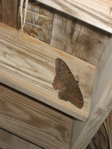 This moth was bigger than some of the hummingbirds we've seen here!