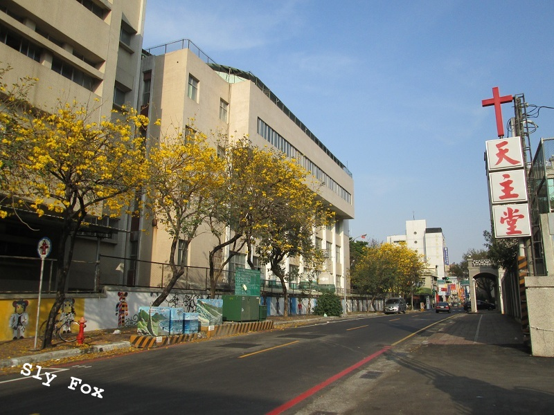 南寧街聖若瑟天主堂黃花風鈴木