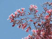https://lh4.googleusercontent.com/-DcdVah-Tiis/T2_x9ur6cII/AAAAAAAAACE/wLRxXjKizm4/s1600/Pink+Jacaranda+Tree+-+0017.jpg