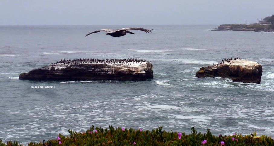 Brown Pelican, Cormorants on Rock, Santa Cruz Calif
