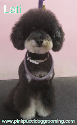 Lati the Maltipoo Grooming Example