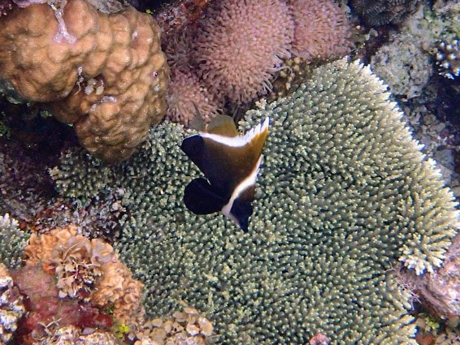 Heniochus varius (Humphead Heniochus), Sand Island, Palawan, Philippines.