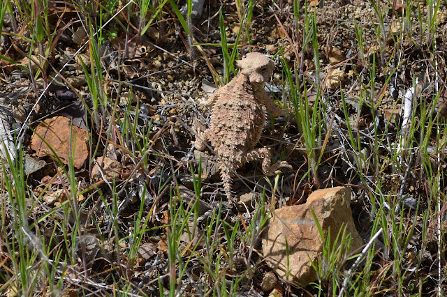 horny toad, which is a lizard