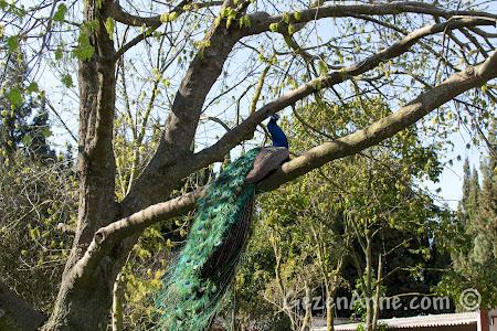 ağaca tünemiş bir tavus kuşu, Uluabat Kuş Cenneti