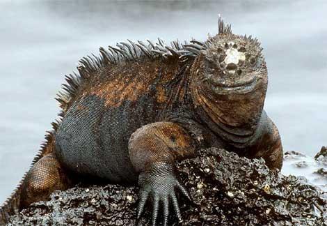 marine-iguana[1]