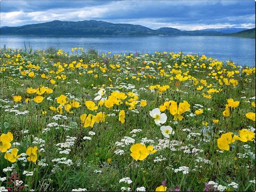 Field of Arctic Poppies, Near Nain Labrador, Canada.jpg