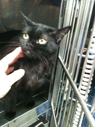 3 gatitos de 2 meses y mami de 1 año dejados en clinica (en Vitoria) ¡ADOPTADOS! IMG_1716