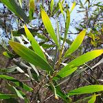 Acacia leafs (103495)