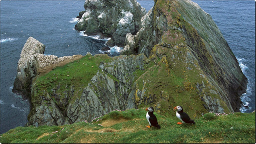 Atlantic Puffin, Hermaness, Unst Island, Shetland Islands, United Kingdom.jpg