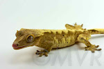 Milkshake - Yellow-mocha harlequin male crested gecko from moonvalleyreptiles.com