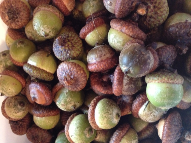 Two it yourself acorn decorations how to dry acorns and for How to preserve acorns