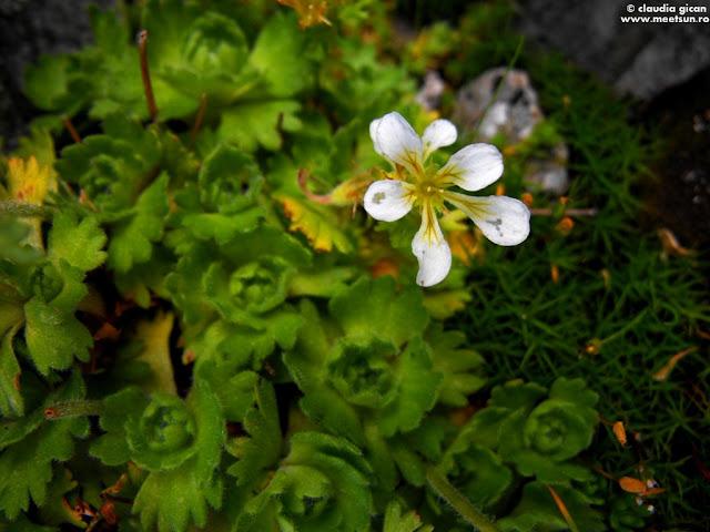 Saxifraga aizoon (popular, posibil iarba surzilor)