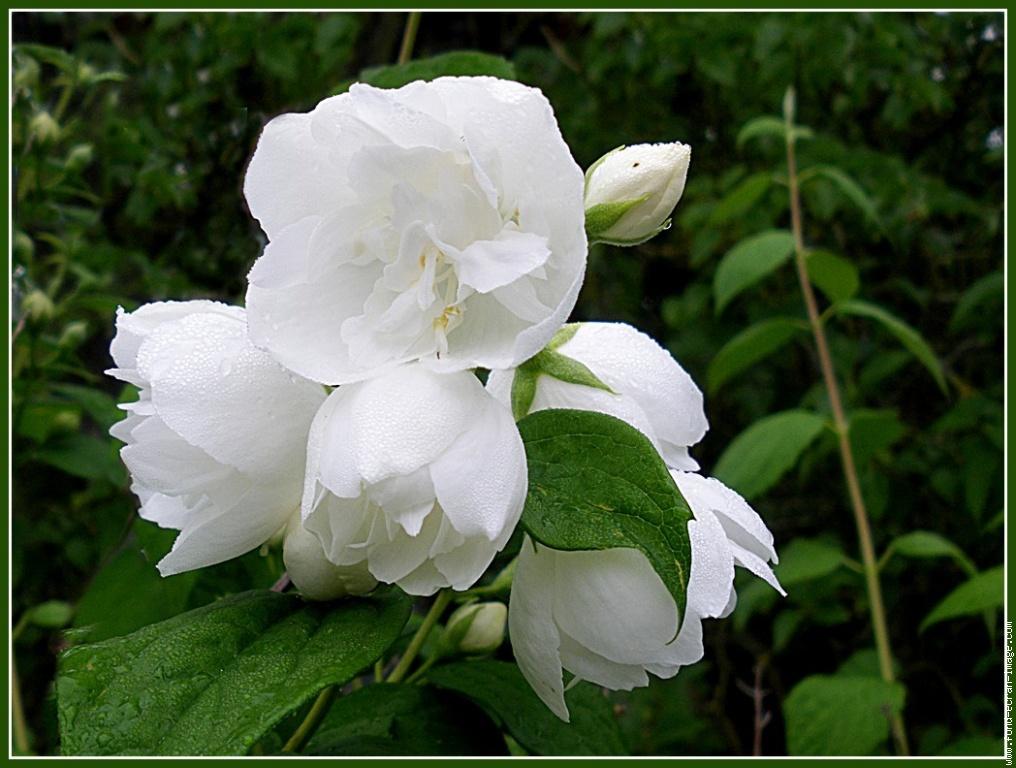 Phytospiritualit le seringat le jasmin des po tes - Arbuste fleur blanche ...