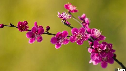 ảnh đóa hoa tím rực rỡ trong mùa xuân