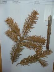 Jodła pospolita okaz zielnikowy Abies alba