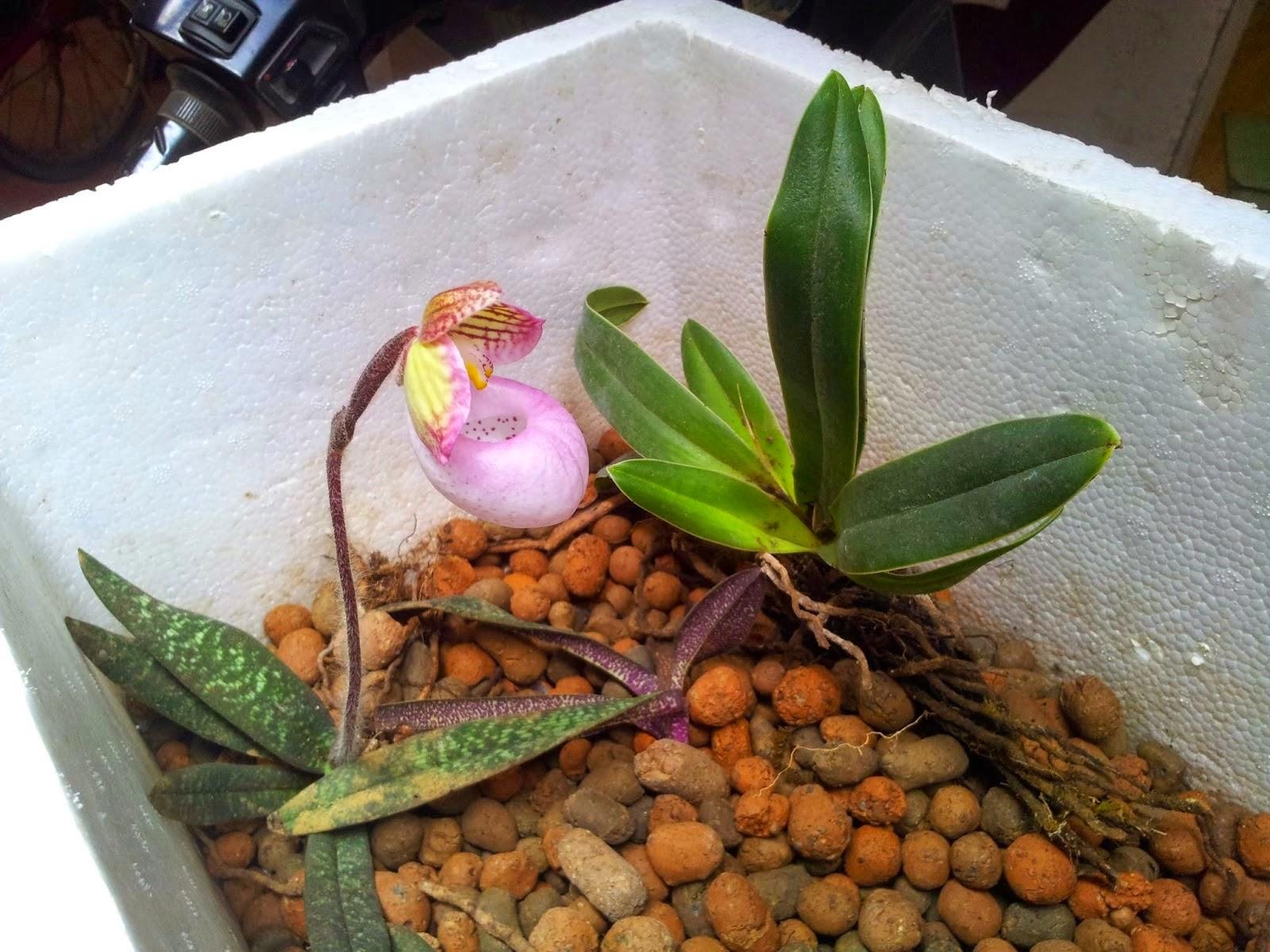 hài mốc hồng thường có 3-6 lá, cỡ nhỏ bé, lá có vân trắng xanh nổi rõ