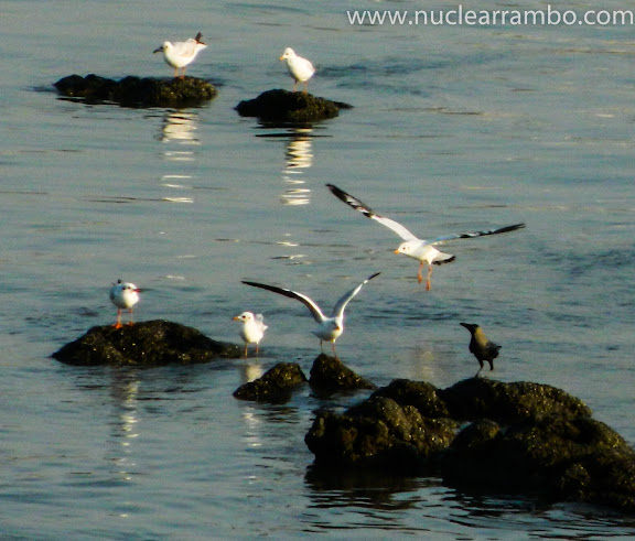 Sea gulls of Mumbai