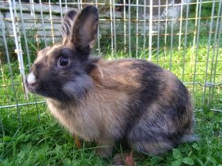 [adoptée]-Nala, lapine noire et marron, avec le bout du nez blanc 688020Nala