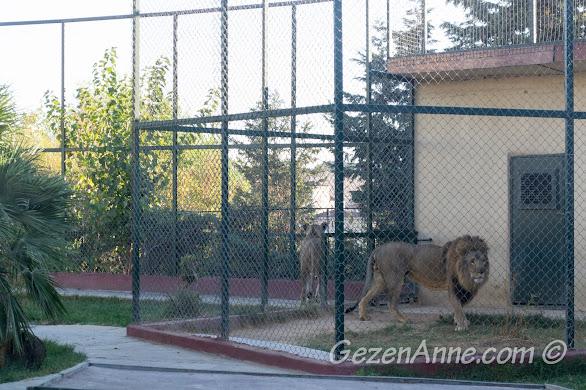 Darıca Hayvanat Bahçesi'nde, aslanlar