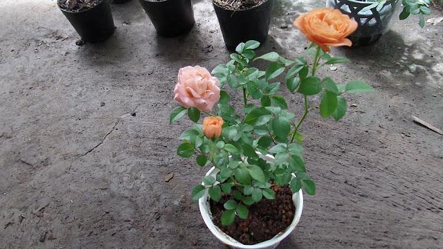 Hồng ngoại Tezza màu cam