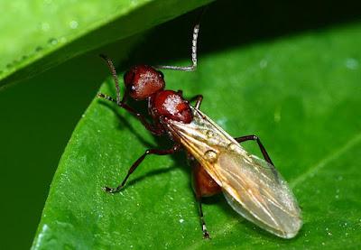 Sự giống nhau và khác nhau giữa mối cánh và kiến cánh