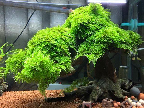 Rêu Mini Taiwan - một loại rêu đẹp trong hồ thủy sinh
