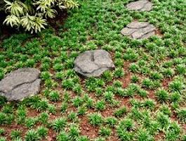 Pohon kucai mini pengganti  rumput  ~ tukang taman murah
