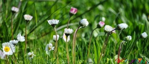 hoa cúc trắng chớm nở